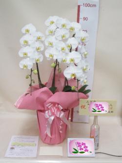 誕生日プレゼント用胡蝶蘭