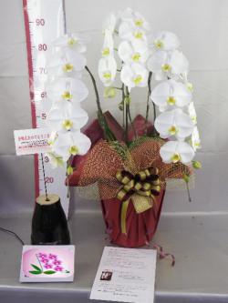 結婚記念日・金婚式お祝いプレゼント用胡蝶蘭